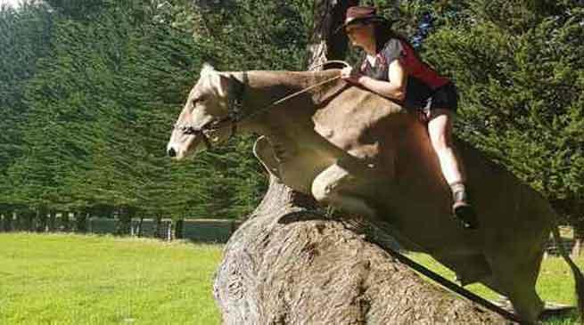 शौक पूरा करने के लिए उस ने गाय को घोड़े की ट्रेनिंग दे दी