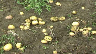 Photo of आलू की खेती से किसानों को नुकसान, खेतों में ही छोड़ा आलू