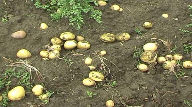 आलू की खेती से किसानों को नुकसान