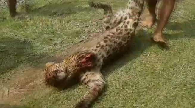 असम: 12 लोगों को घायल करनेवाले तेंदुए को लोगों ने मार गिराया