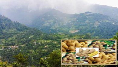 Photo of सिक्किम: अदरक की खेती ने नंदोक गाँव की तस्वीर बदल दी